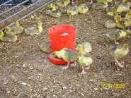 Week old goslings feeding outside